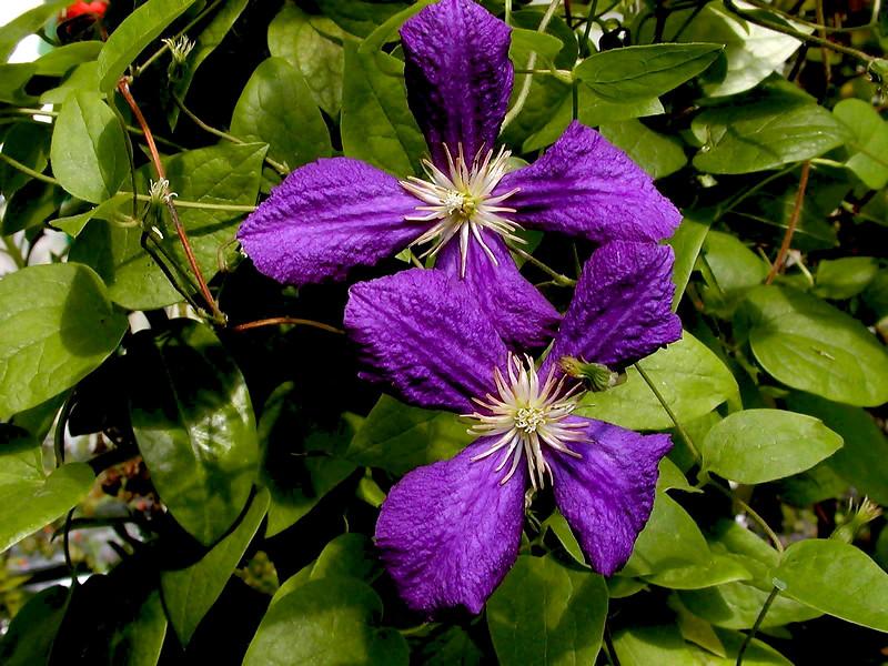 Clematis-Ascotiensis-2003-07-29-0002