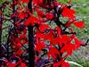 Cardinal Flower-2003-08-01-0001