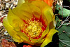 Cactus-Prickly Pear-Black Spined-2007-04-15-0002