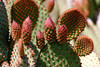 Cactus-Prickly Pear-Bunny Ear-2007-04-15-0001