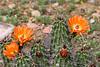 Cactus-Devil Cholla-2010-03-29-0001