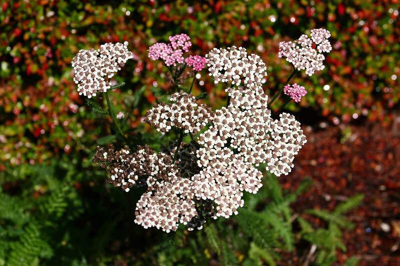 """Achillea-2006-09-07-0005  <font color=""""Yellow""""> My thanks for the ID Information from </font> <a href=""""http://amkphoto.smugmug.com"""">  Arlene  </a>."""