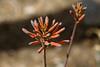 Cactus, Aloe-Tiger-2010-03-21-0001