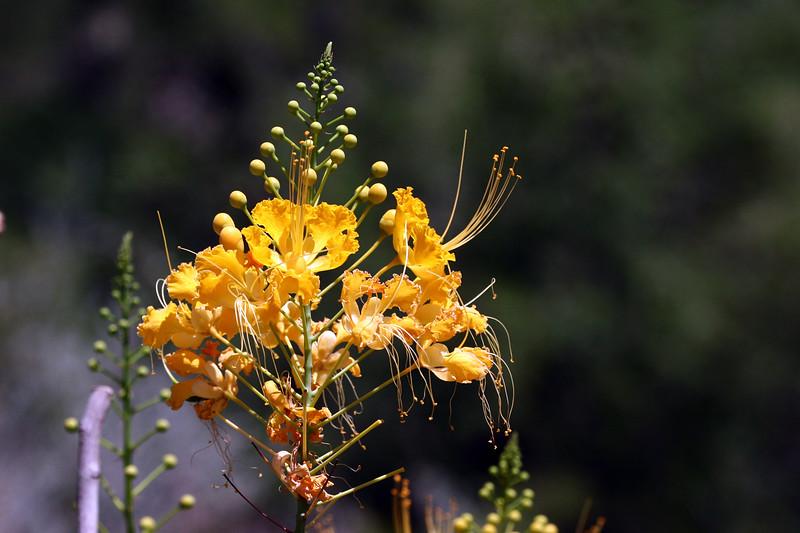 Mexican Bird of Paradise-Yellow-2007-05-27-0001