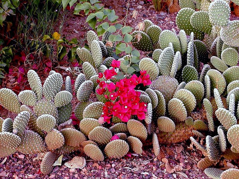 Cactus-Prickley Pear-Beavertail-2003-12-07-0001