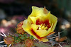 Cactus-Prickly Pear-Spiny Purple-2007-04-15-0001