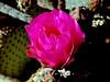 Cactus-Prickley Pear-Beavertail-2004-03-14-0001