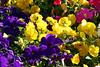 ~Mixed-Petunia-Pansy-2007-04-15-0001