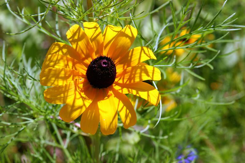 Black Eyed Susan-2007-09-01-0003