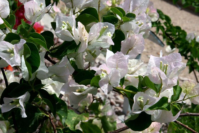 Bougainvillea-White Madona-2005-05-01-0001