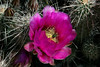 Cactus-Hedgehog-Strawberry-2006-04-02-0002