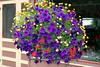 ~Mixed-Petunia-2005-09-06-0001