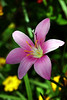 Crinum Moorei-Cape Dawn,Moore's Crinum, Bush Lily-2007-07-29-0002
