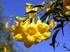 Arizona Yellow Bells-2006-05-14-0001