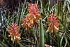 Cactus-Aloe-Spotted Candelstick-2005-05-01-0001