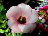 Begonia-2003-07-29-0003