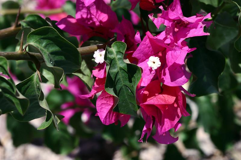 Bougainvillea-Temple Fire Bush-2007-05-26-0001
