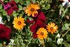 ~Mixed-Petunia-Daisy-2007-04-14-0001