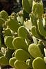 Cactus, Bunny Ears-2010-03-21-0001