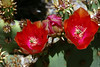 Cactus-Prickly Pear-Chenille-2007-04-15-0002