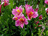 Alstroemeria-Dutch Hybred-2003-08-01-0001