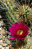 V-Cactus-Hedgehog-Engelmann's-2007-04-15-0002