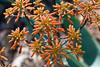 Cactus, Aloe-Coral-2010-03-28-0002