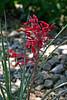 Cactus-Aloe-Red-2007-04-15-0001