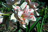Amaryllis-2005-04-11-0001
