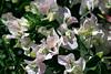 Bougainvillea-White Madona-2005-04-10-0001