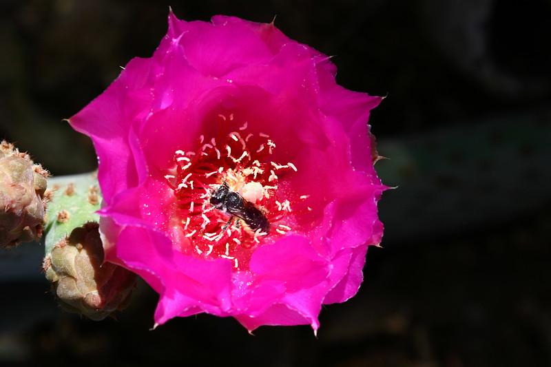 Cactus-Prickly Pear-Beavertail-2007-04-15-0002