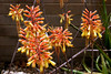 Cactus-Aloe-Spotted Candelstick-2005-05-01-0002