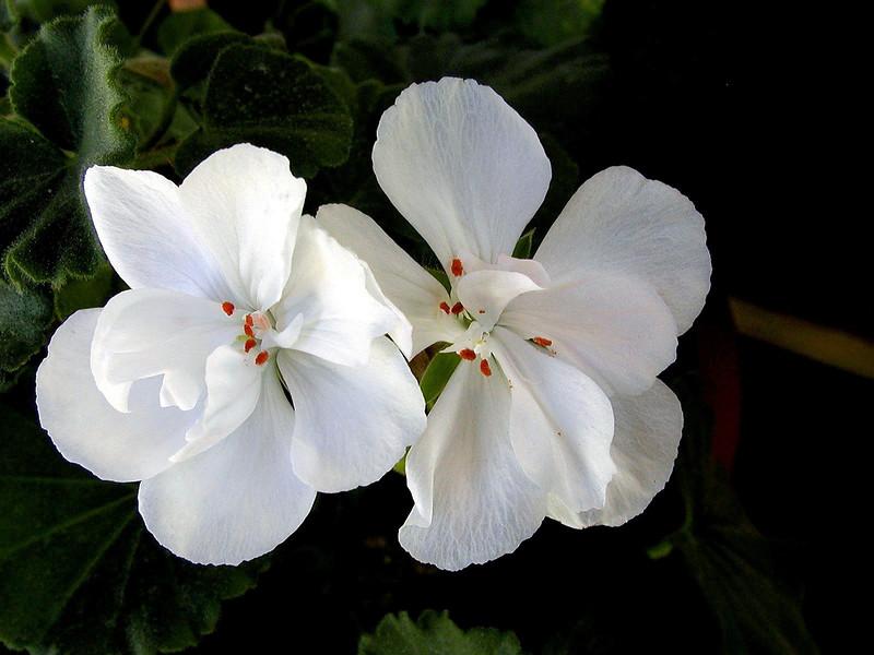Begonia-Scharffii-2003-12-07-0001