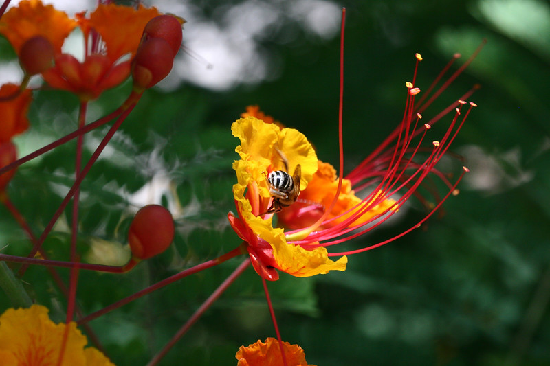Mexican Bird of Paradise-Red-2007-06-10-0001