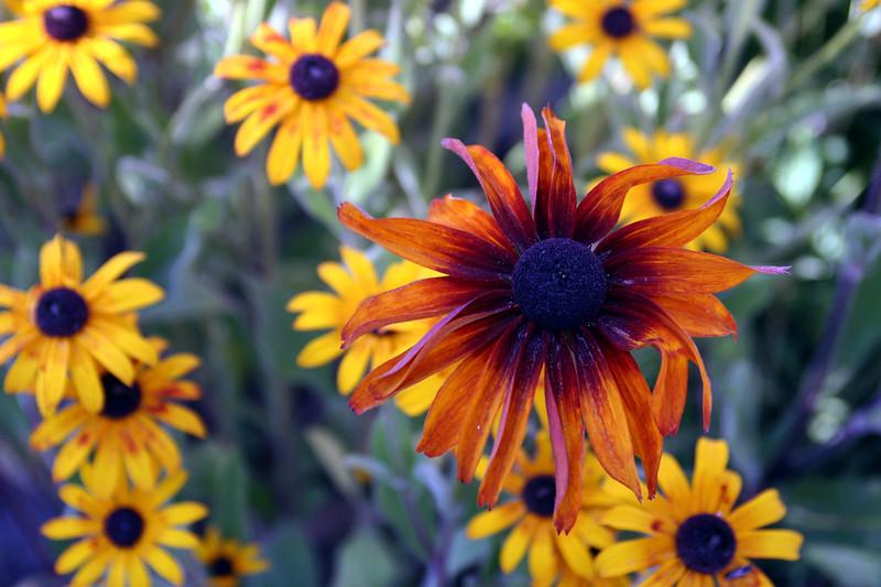 Black Eyed Susan-2005-08-29-0003