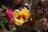 Cactus-Prickly Pear-Desert-2010-06-01-0001