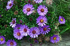 """Aster-Italian-2006-09-14-0008  <font color=""""Yellow""""> My thanks for the ID Information from </font> <a href=""""http://amkphoto.smugmug.com"""">  Arlene  </a>."""