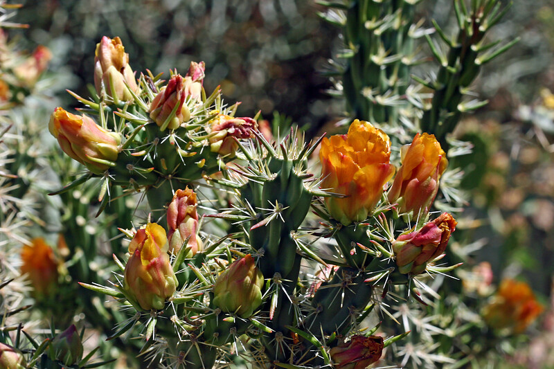 Cactus-Cane Cholla-Cardenche-2007-04-15-0001
