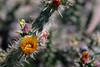 Cactus-Cholla-Thornber-2006-04-09-0002