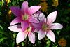 Crinum Moorei-Cape Dawn,Moore's Crinum, Bush Lily-2007-07-29-0001