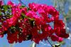 Bougainvillea-Barbara Karst-2005-04-10-0002