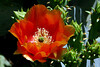 Cactus-Prickly Pear-2007-04-15-0007