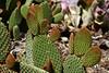 Cactus-Prickly Pear-Bunny Ear-2007-04-15-0002
