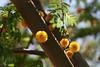 Acacia-Sweet-2007-04-01-0001