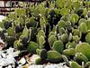Cactus-Prickley Pear-Beavertail-2003-12-07-0003