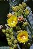 Cactus-Prickly Pear-Blind-2007-04-15-0001