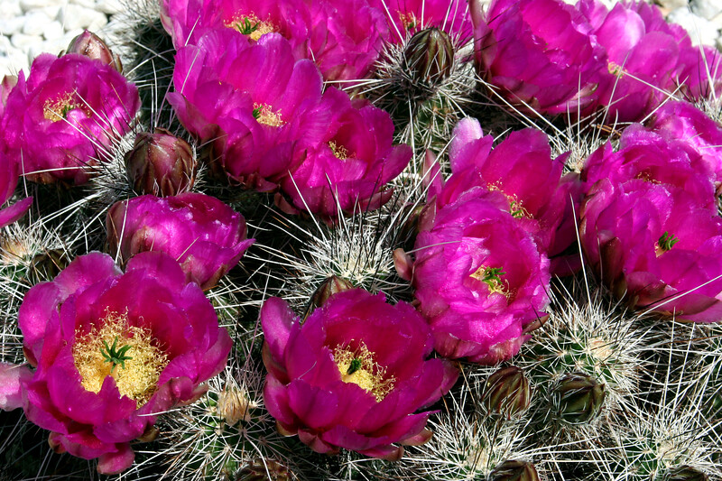 Cactus-Hedgehog-Strawberry-2006-04-02-0001