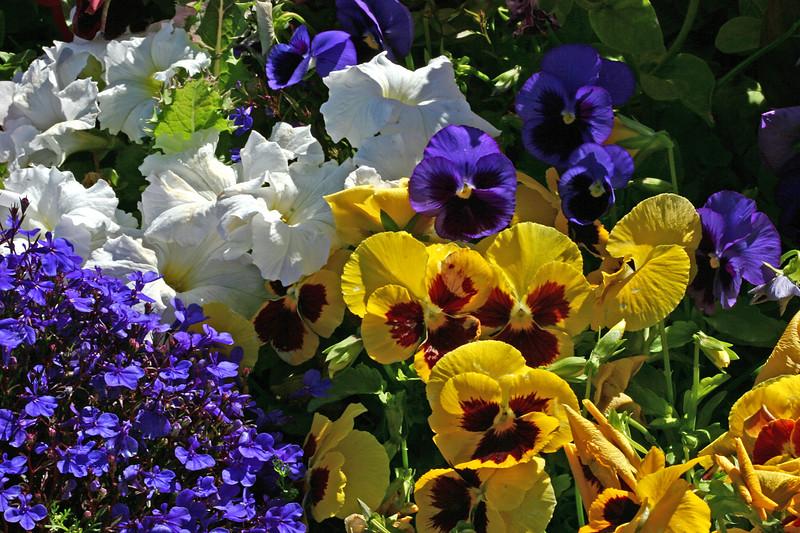 ~Mixed-Petunia-Pansy-2007-04-15-0002