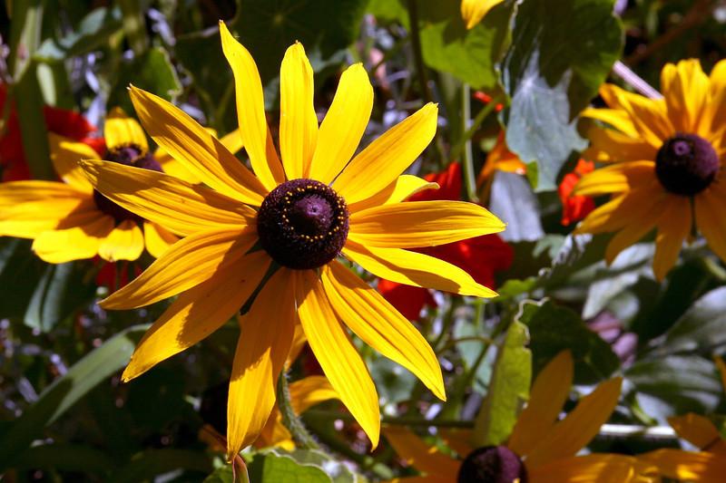 Black Eyed Susan-2005-08-24-0001