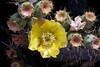 Cactus-Prickly Pear-Englemann's-2005-05-01-0001